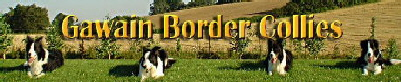 Gawain�s Border collie